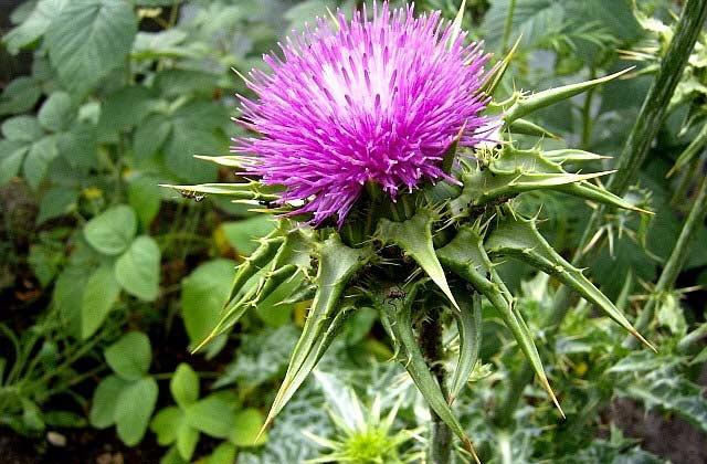 трава расторопша лечебные свойства и противопоказания