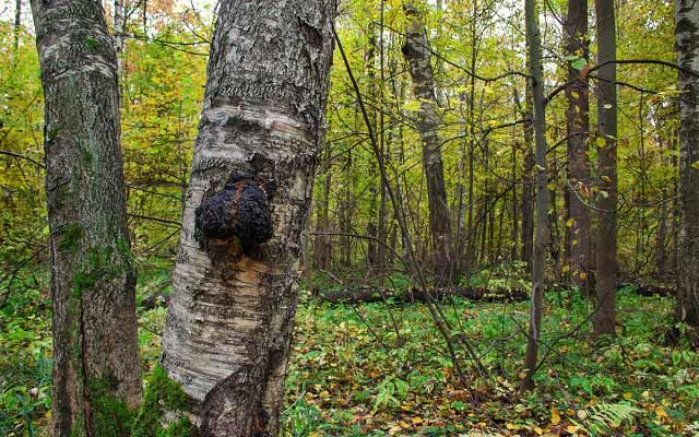береза лес