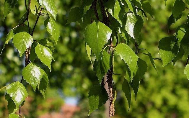 молодые листочки березы