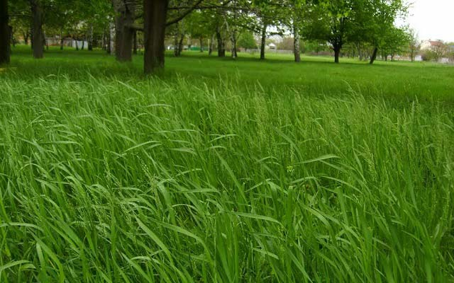 трава пырей фото