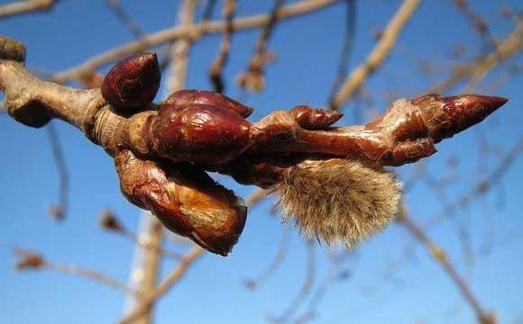 лечебные свойства осина