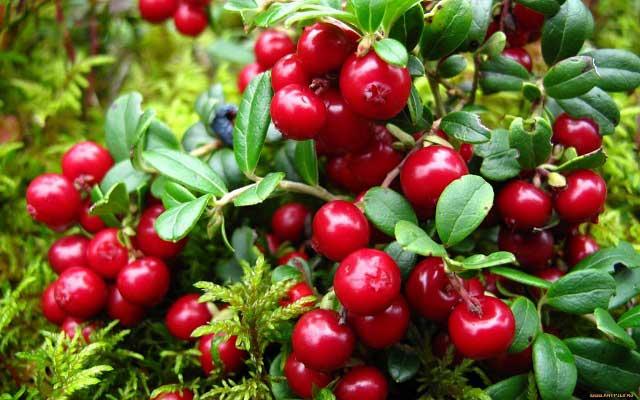 чем полезны ягоды брусники